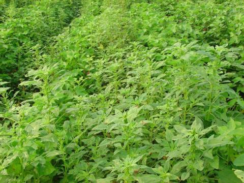 Из-за ГМО распространились с…