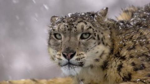 Кошка. Снежная. Уязвимая или вымирающая?