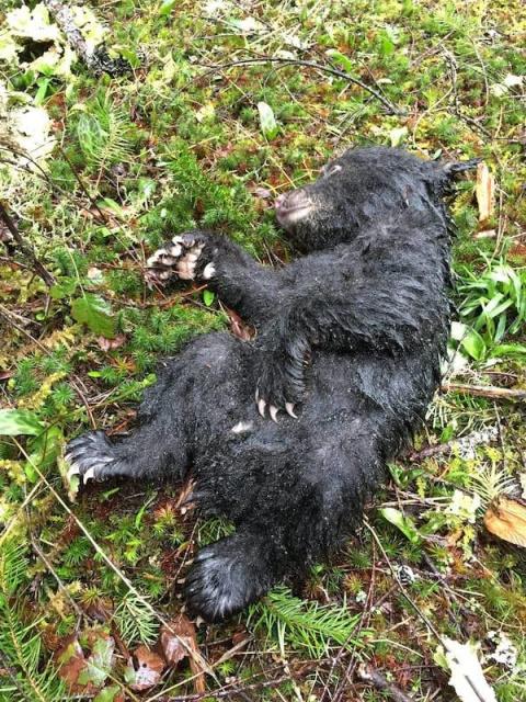 Этот парень рисковал своей жизнью и свободой, чтобы спасти умирающего медвежонка!