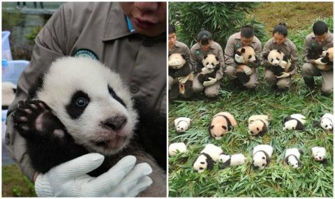 Эти 36 детенышей панды слома…