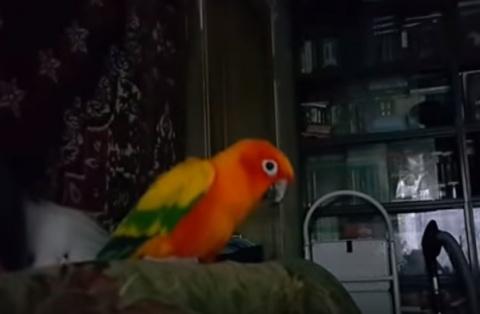 Попугай - танцор