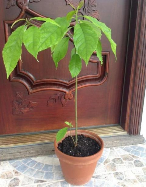 Как в домашних условиях вырастить авокадо из косточки