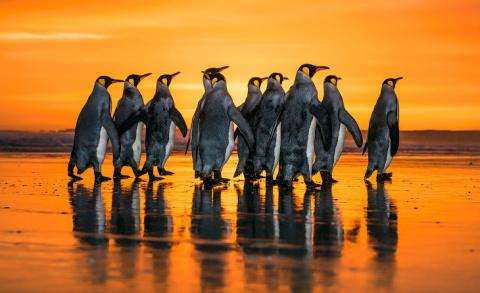 Королевские пингвины на Фолклендских островах
