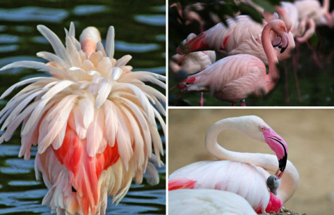 Прекрасные фламинго — одни и…