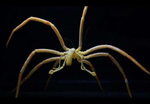 Морские пауки компенсировали…