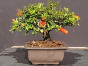 Комнатный гранат – как вырастить дерево, приносящее в дом благосостояние.