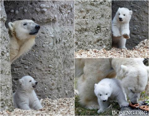 Первые шаги белого медвежонк…