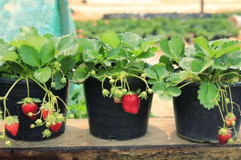 Как вырастить клубнику в горшочках. 5 простых шагов