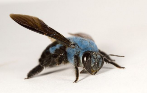 Голубая пчела всему виной...