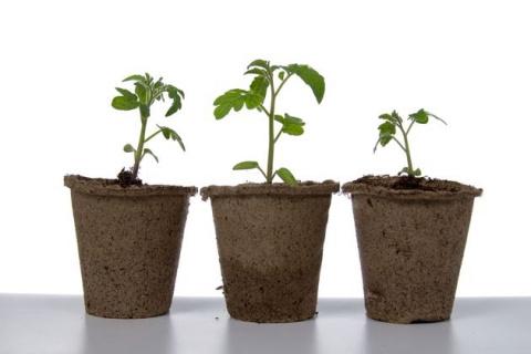 Рассада: как преодолеть иммунодефицит перца и томата