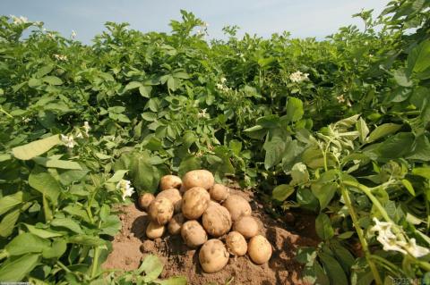 Когда и как вносят удобрения под картофель