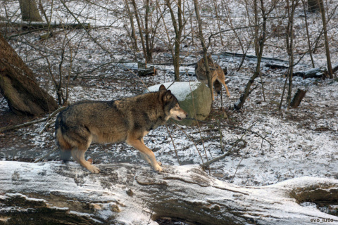 Волчонок Недолюбленный