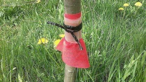 САД, ЦВЕТНИК И ОГОРОД. Защищаем плодовые деревья от муравьёв