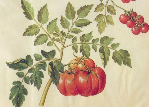 Генная модификация сделала помидоры полезнее