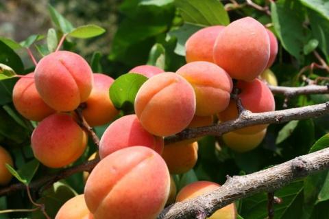 Для здоровья – съешь абрикос…