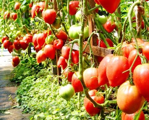 Итоги прошедшего лета: томаты удались на славу!