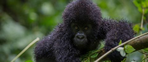 Горные гориллы — исчезающие гиганты