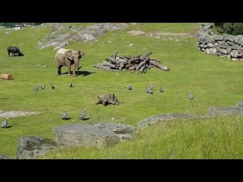 Вы будете в восторге, когда увидите, как этот слоненок гоняется за птичками!