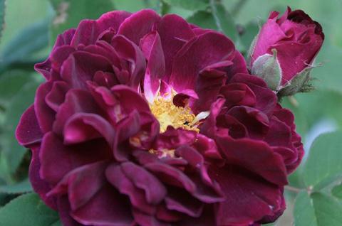 Великолепная пятёрка. Какие розы посадить на даче