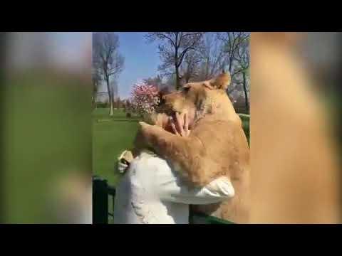 Видео с львицами, которые вс…