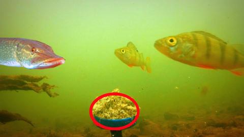 Реакция рыбы на ЖАРЕНЫЕ СЕМЕ…
