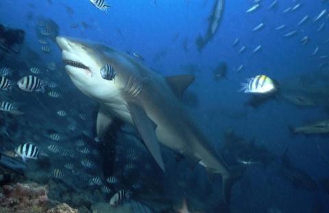 Серфинг на акуле