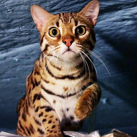 Пропал бенгальский кот по кличке Густав (Гуся). Густав, найдись, пожалуйста!