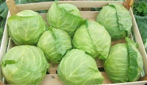 Как сохранить свежую капусту…