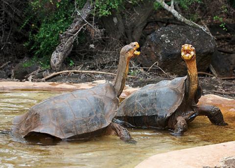 Благодаря китобоям и пиратам ученые «воскресят» вымерший вид галапагосских черепах