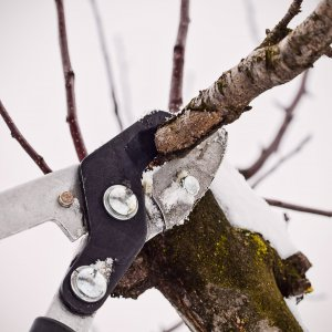 Зимняя обрезка сада – советы новичкам