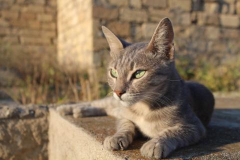 Трогательная история Сандры - серой кошки с изумрудными глазами