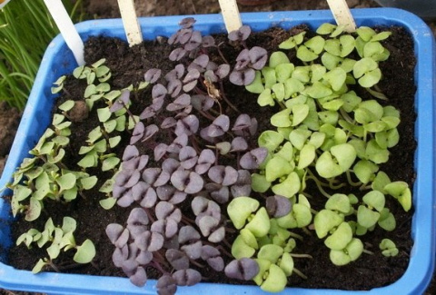 Выращиваем базилик через рассаду