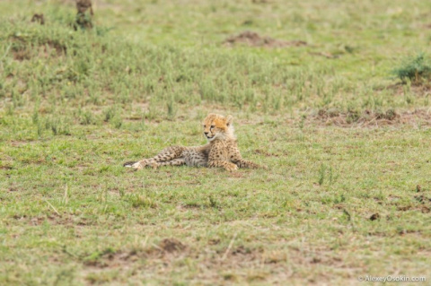 Жил-был гепард… Трагическая …