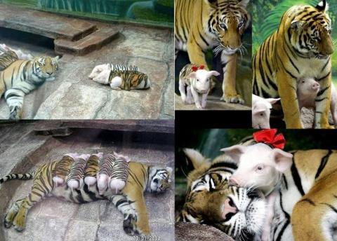 Вот это да! Детеныши для тигрицы