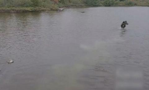 Эпичная схватка волка и лося попала на видео