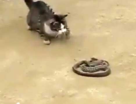 Кот и змея - видео