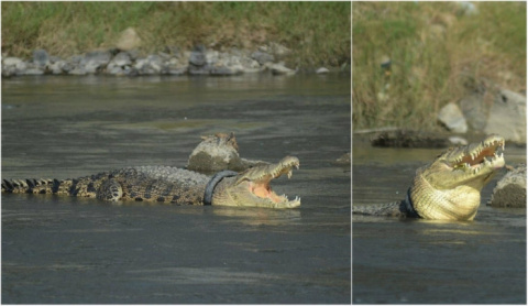 Крокодил минимум два года жи…