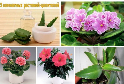 5 комнатных растений-целителей