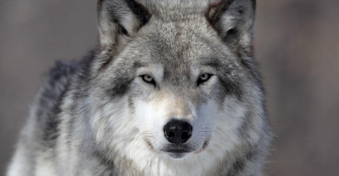 Волки научили меня искренности - история учёного, которого приняла волчья семья