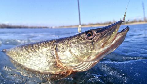 Вводятся суточные нормы вылова для рыбаков-любителей