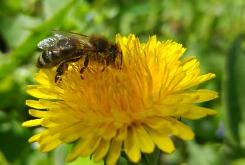 Удивительно. Как пчела собирает пыльцу (Макросъемка)