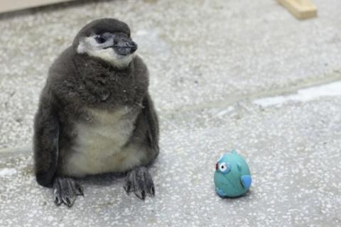 В Красноярске растет пингвиненок по кличке Чуди