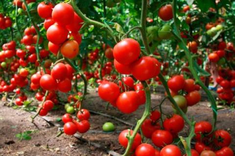 5 способов вырастить высокорослые томаты