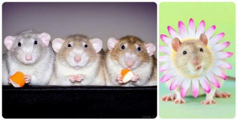 Фотографии домашних крыс, до…