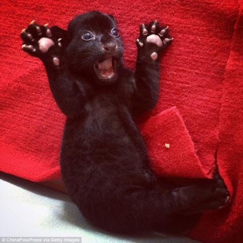 В китайском зоопарке появился на свет черный тигрёнок без полос