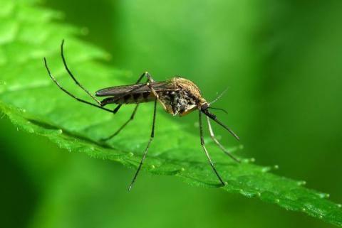 Какие цветы отпугивают комаров