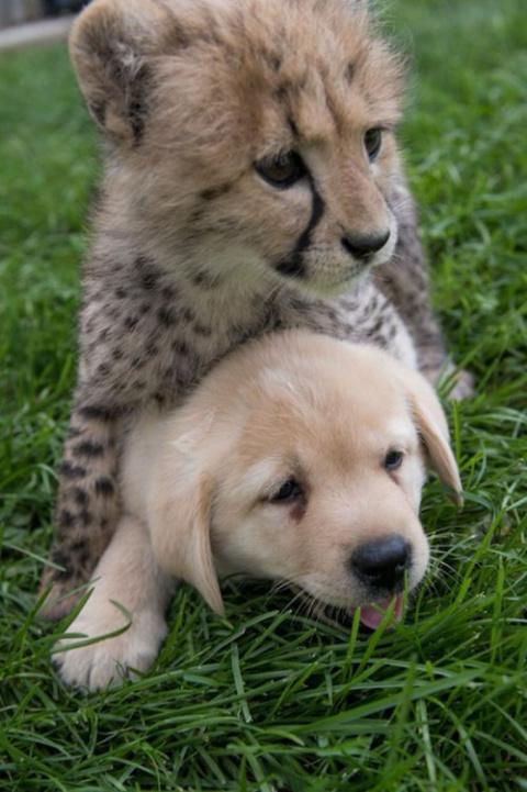 Гепарды настолько робкие сущ…