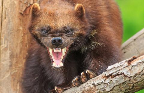 Победить или умереть! О самом агрессивном и безбашенном звере в России...