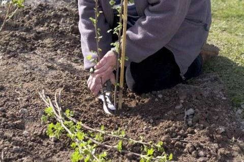 Посадка черной смородины осенью