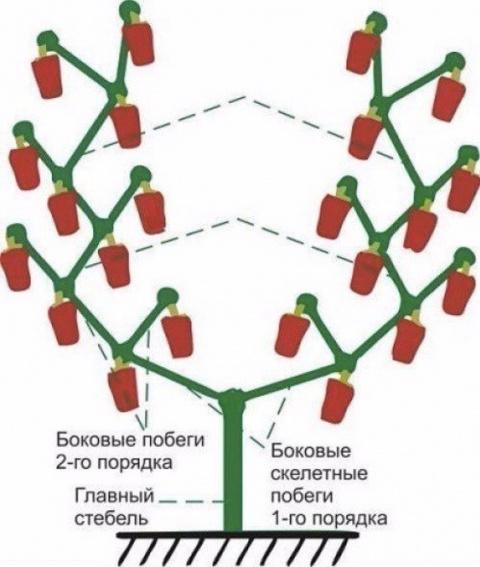 Как правильно формировать сладкий перец